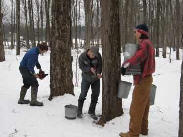 setting maple syrup buckets